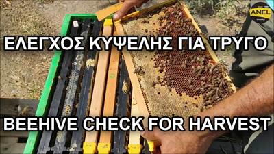 Checking beehive readiness for harvest